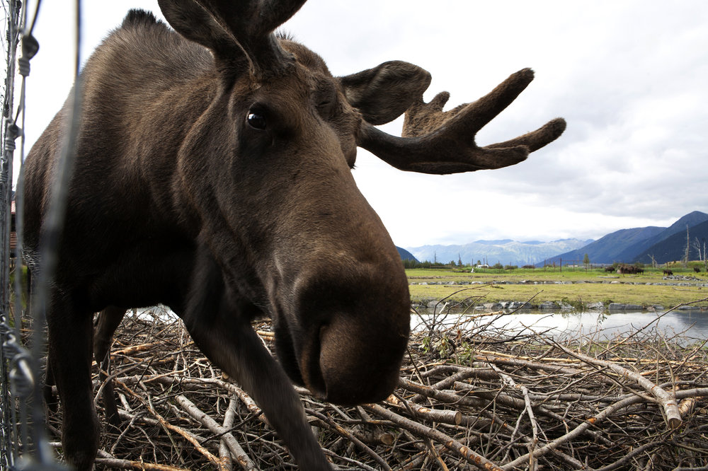 On the 200-acre Alaska Conservation Center in Girdwood, Alaska, a habituated moose approaches a curious photojournalist. AWCC provides refuge for orphaned, injured and animals that can't survive in the wild. © Photo by Gail Fisher