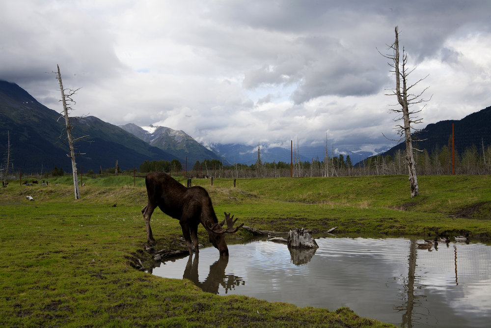 Set on the shores of Turnagain Arm,  the 200-acre Alaska Conservation Center in Girdwood, Alaska provides refuge for orphaned, injured and animals like this moose that can't survive in the wild. © Photo by Gail Fisher