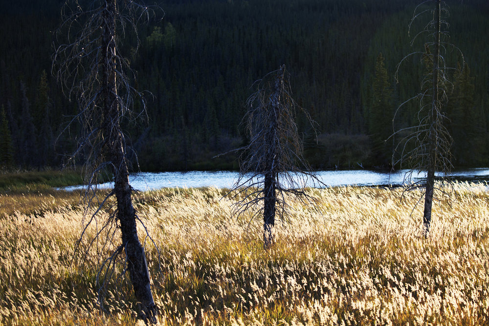 Autumn turns the grasses to a golden yellow outside Alaska's Denali National Park located just 250 miles south of the Arctic Circle.  © Photo by Gail Fisher