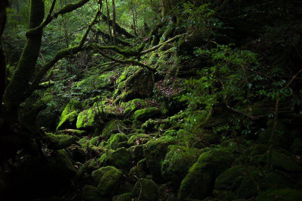 Impressive Moss forest in Shiratani Unsuikyo