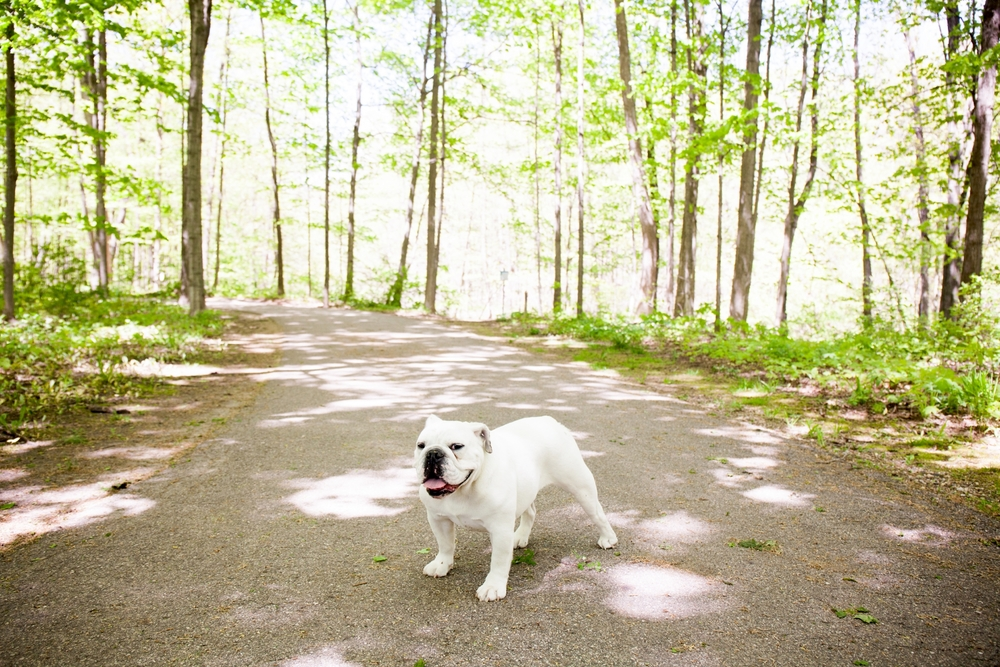 Brandon_Shafer_Photography_Zooey_EnglishBulldog_0014.jpg