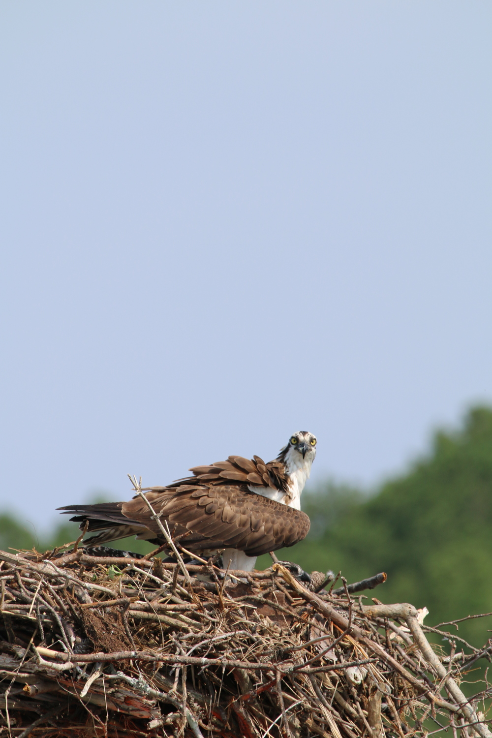 An osprey ( Pandion haliaetus ) sitting atop its nest on one of the channel markers in the Little Wicomico River. During our 2015 field season, we were greeted everyday by the side to side head-bob of this beautiful guy. The pair had two chicks. If you look closely, you can see the head of one. Photo by Eric M. Patterson