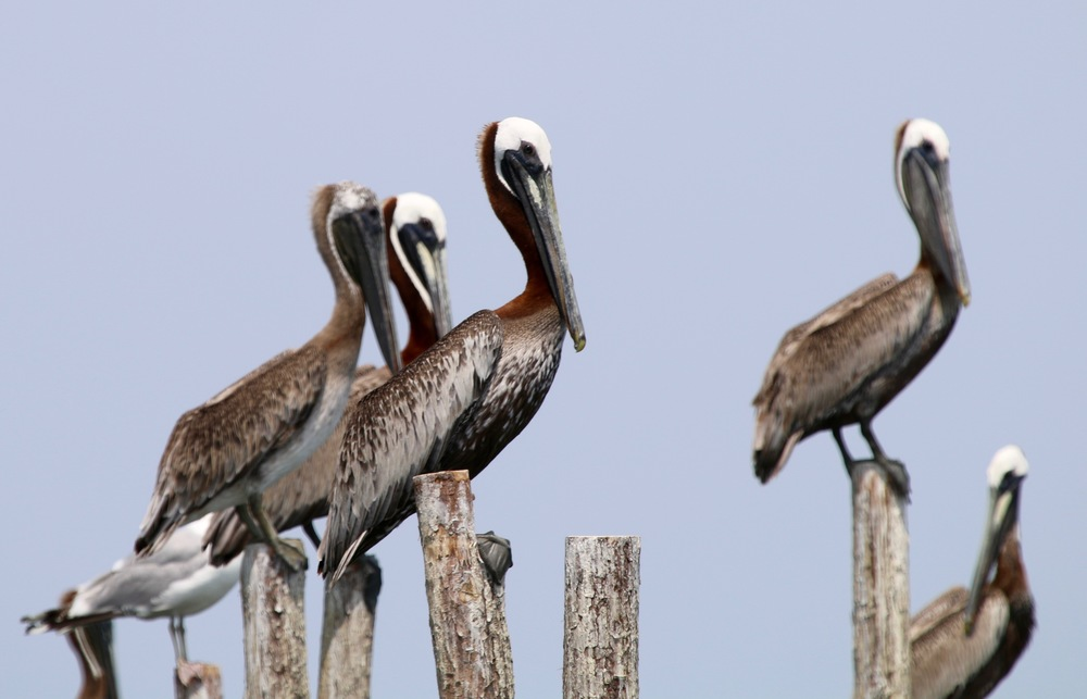 Pelicans and a seagull stand on wooden poles that make-up a pound net.