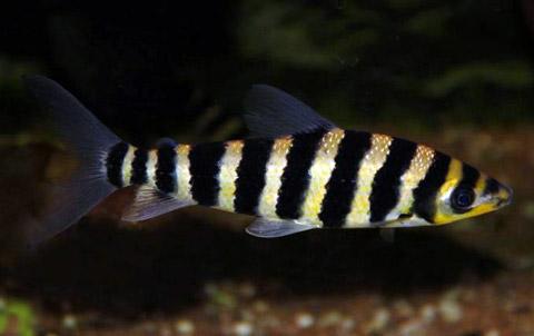 leporinus-octofasciatum.jpg