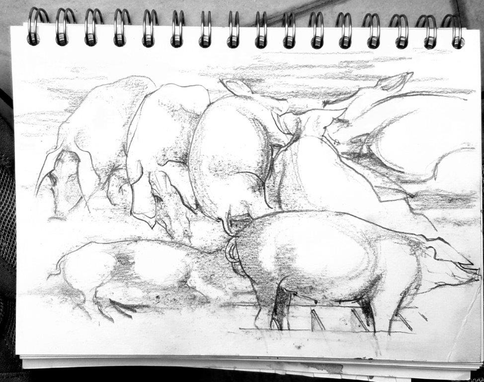 Resting pigs