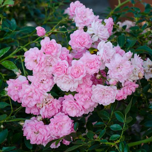The-Fairy-Polyantha-Rose-3-Hedgerow-Rose.jpg