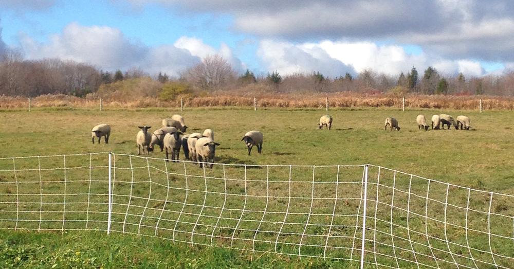 Flock in pasture 2.jpg