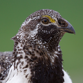 THE NATION: DID THE FISH AND WILDLIFE SERVICE JUST DOOM THIS BIRD TO EXTINCTION?