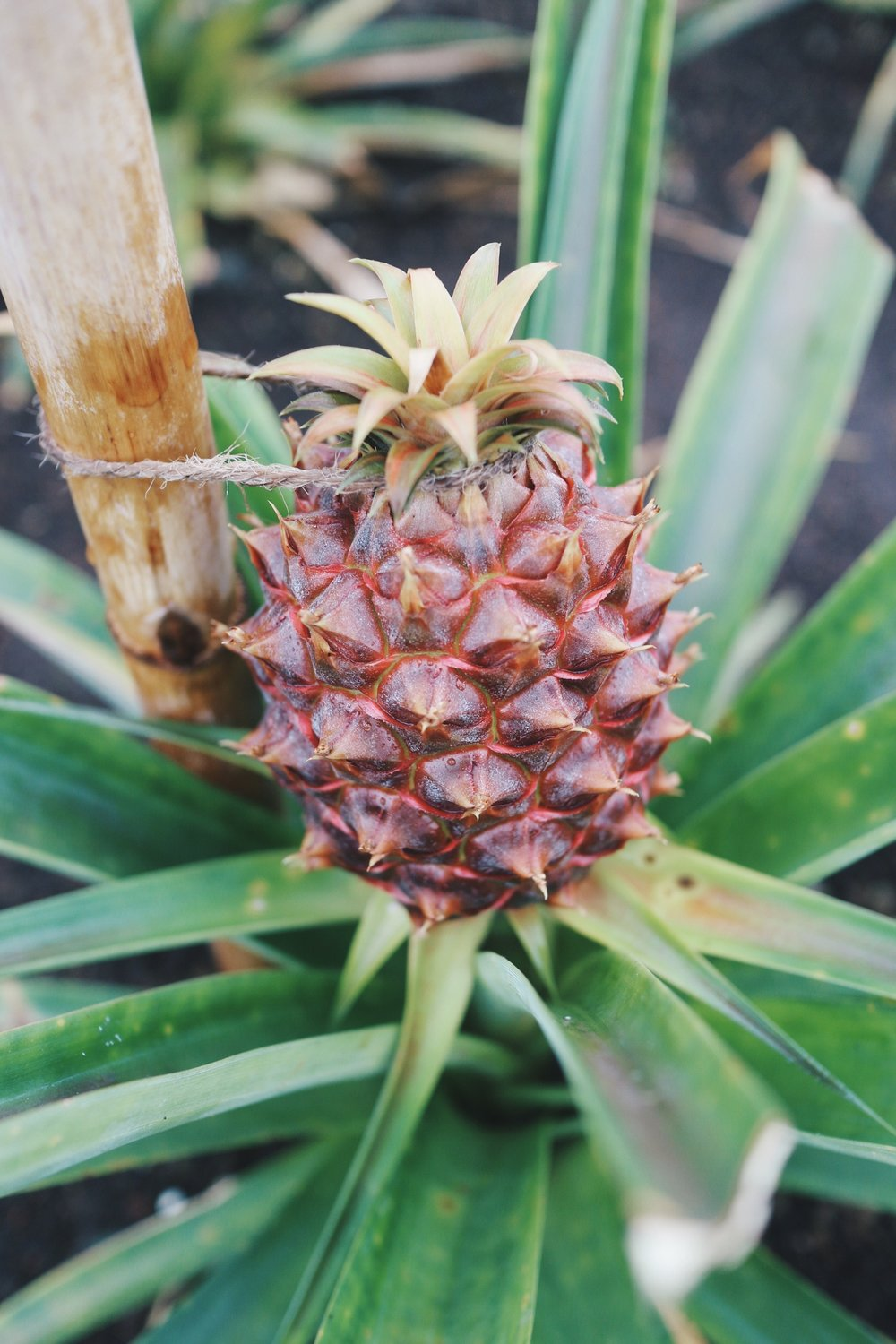 Azore Pineapples