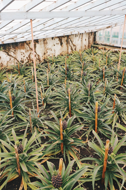 Azores Pineapples