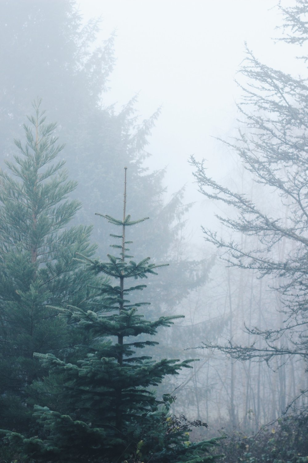 Pine trees in the fog