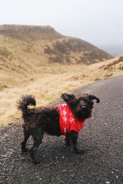 Jackapoo dog