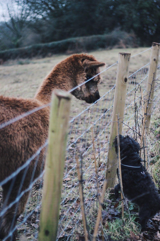 Alpaca meet dog