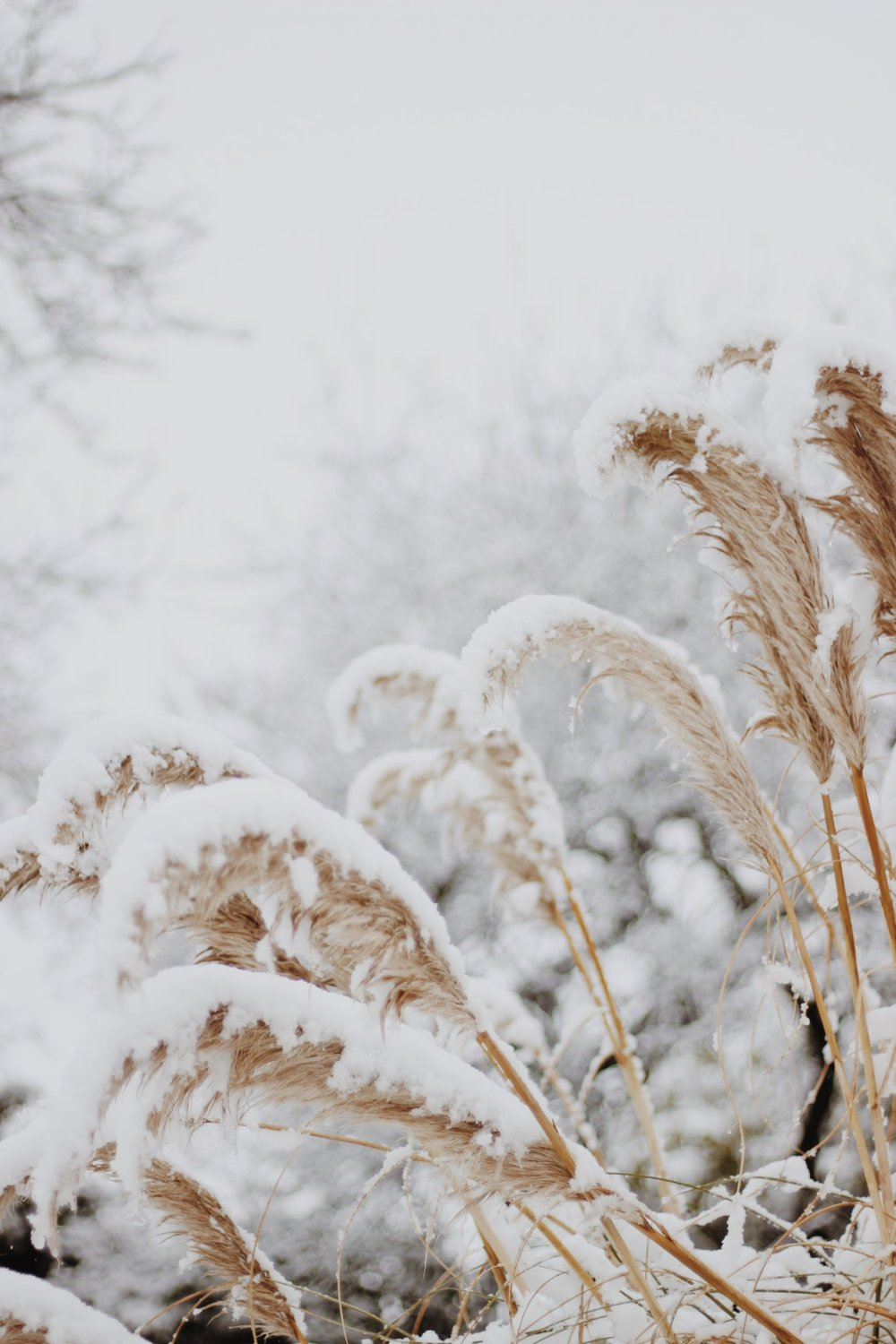 Pampas grass in the snow