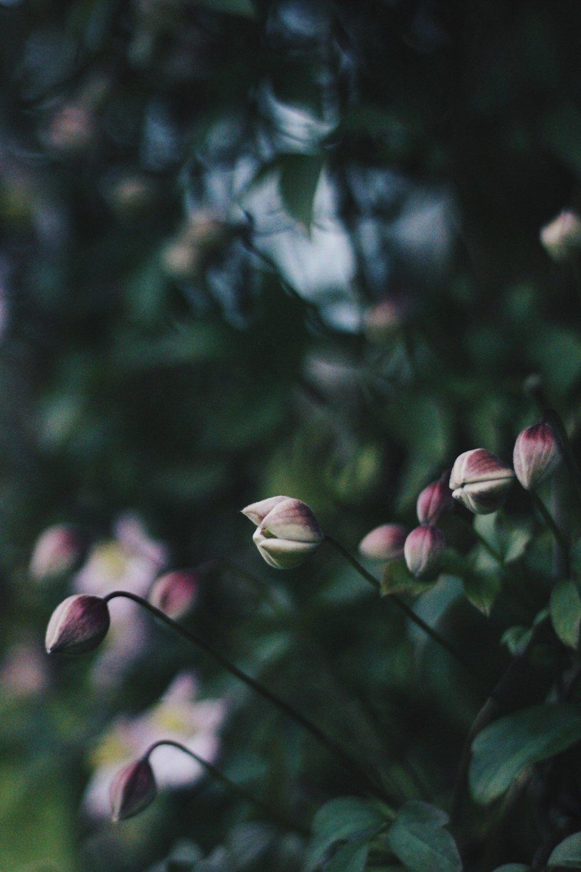 Clematis flower buds