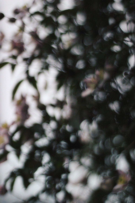 Clematis | Bokeh