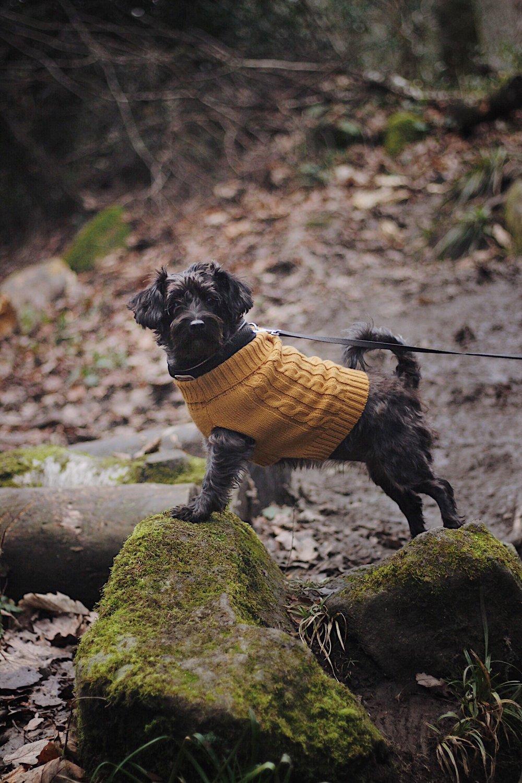 Dog wearing jumper   Little black dog