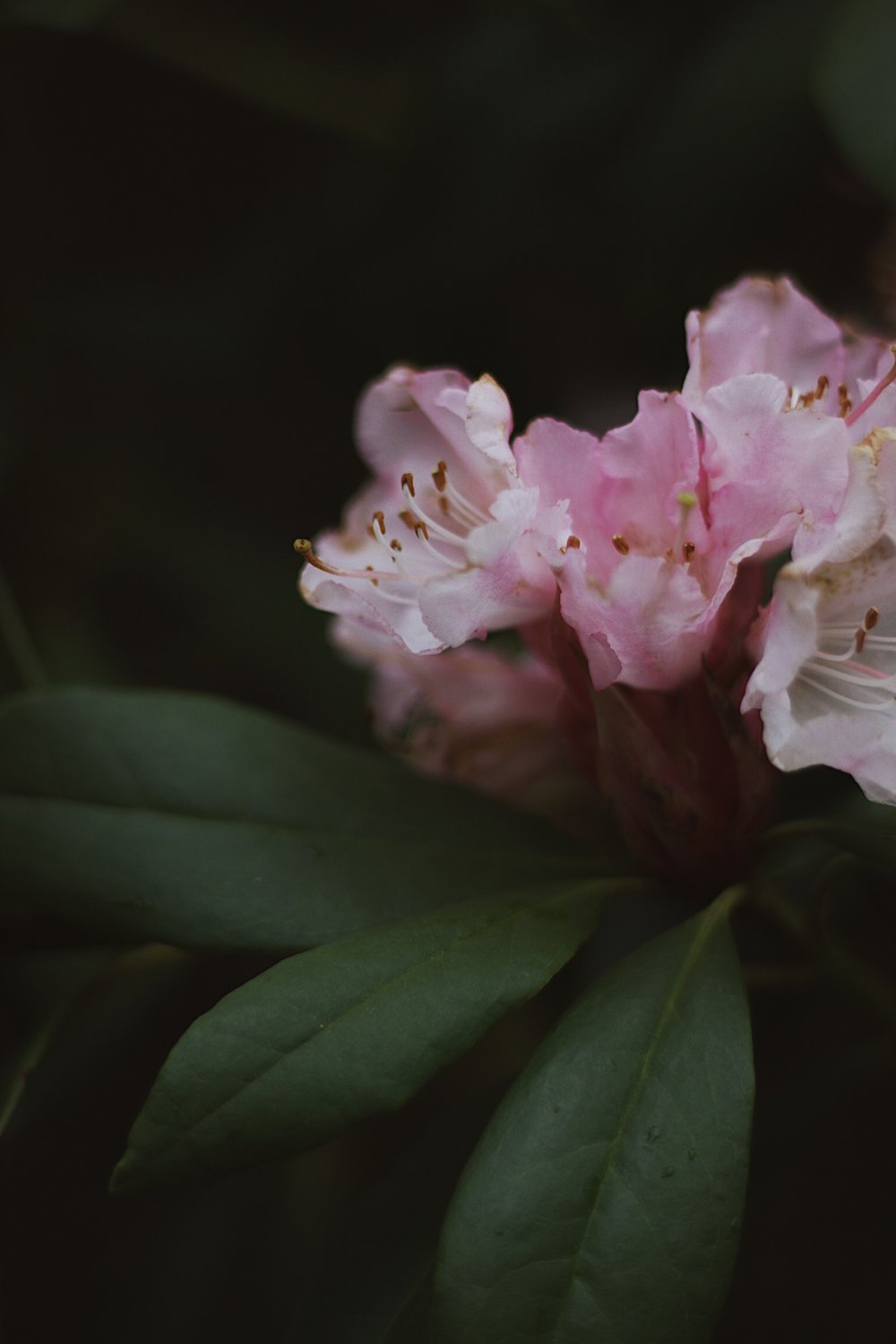 Rhododendron pink flower