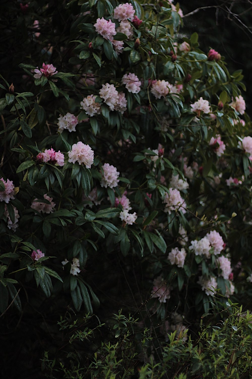 Rhododendron bush with pink flowers