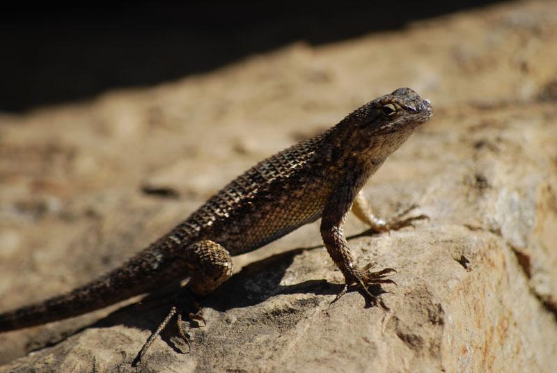 Western Fence Lizard, Malibu, CA