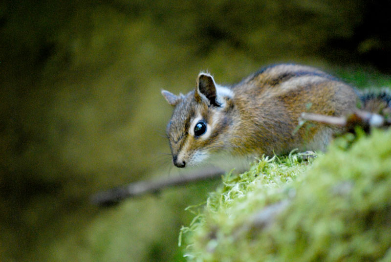 Townsend's Chipmunk, Washington Park, OR