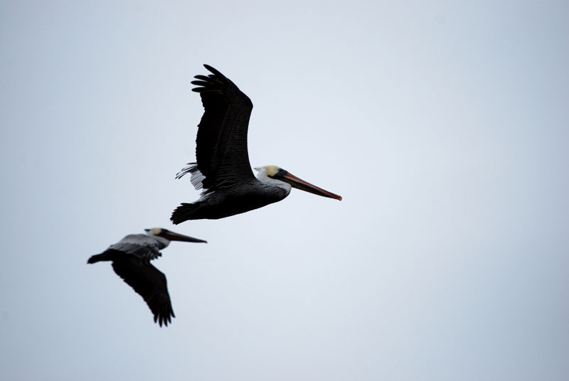 Brown Pelicans, Malibu, CA