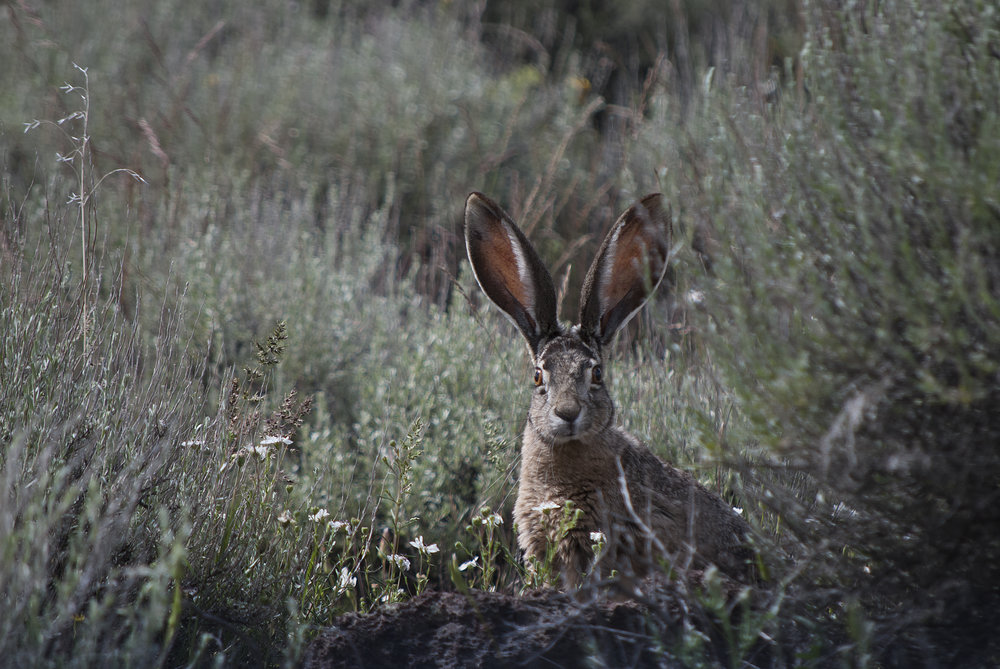 Black-tailed Jackrabbit, Malheur NWR, OR