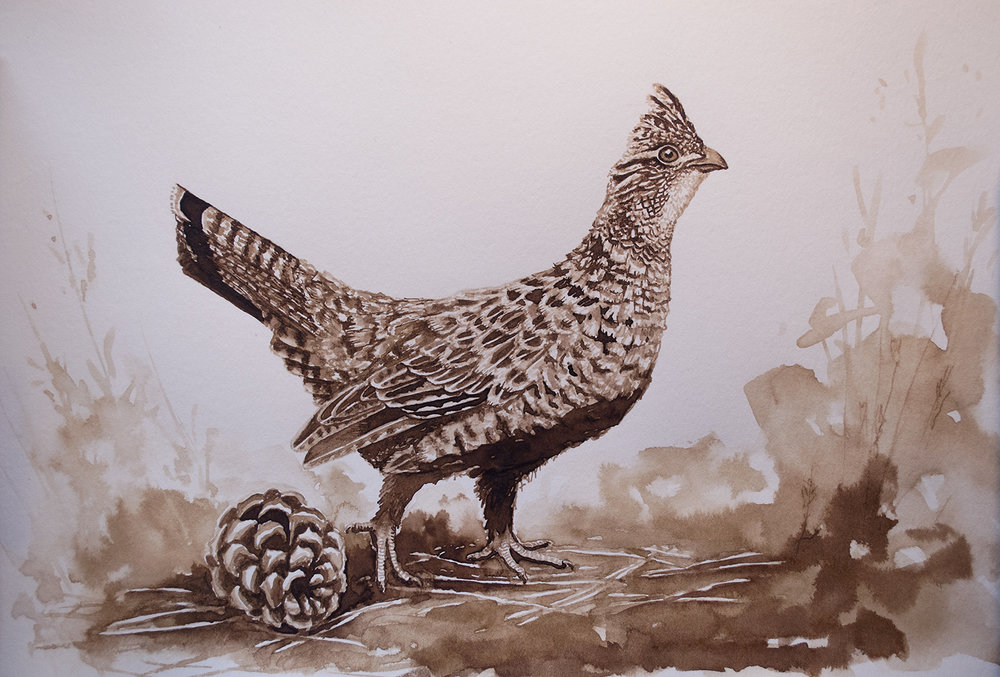 Ruffed Grouse, Walnut Ink on Paper