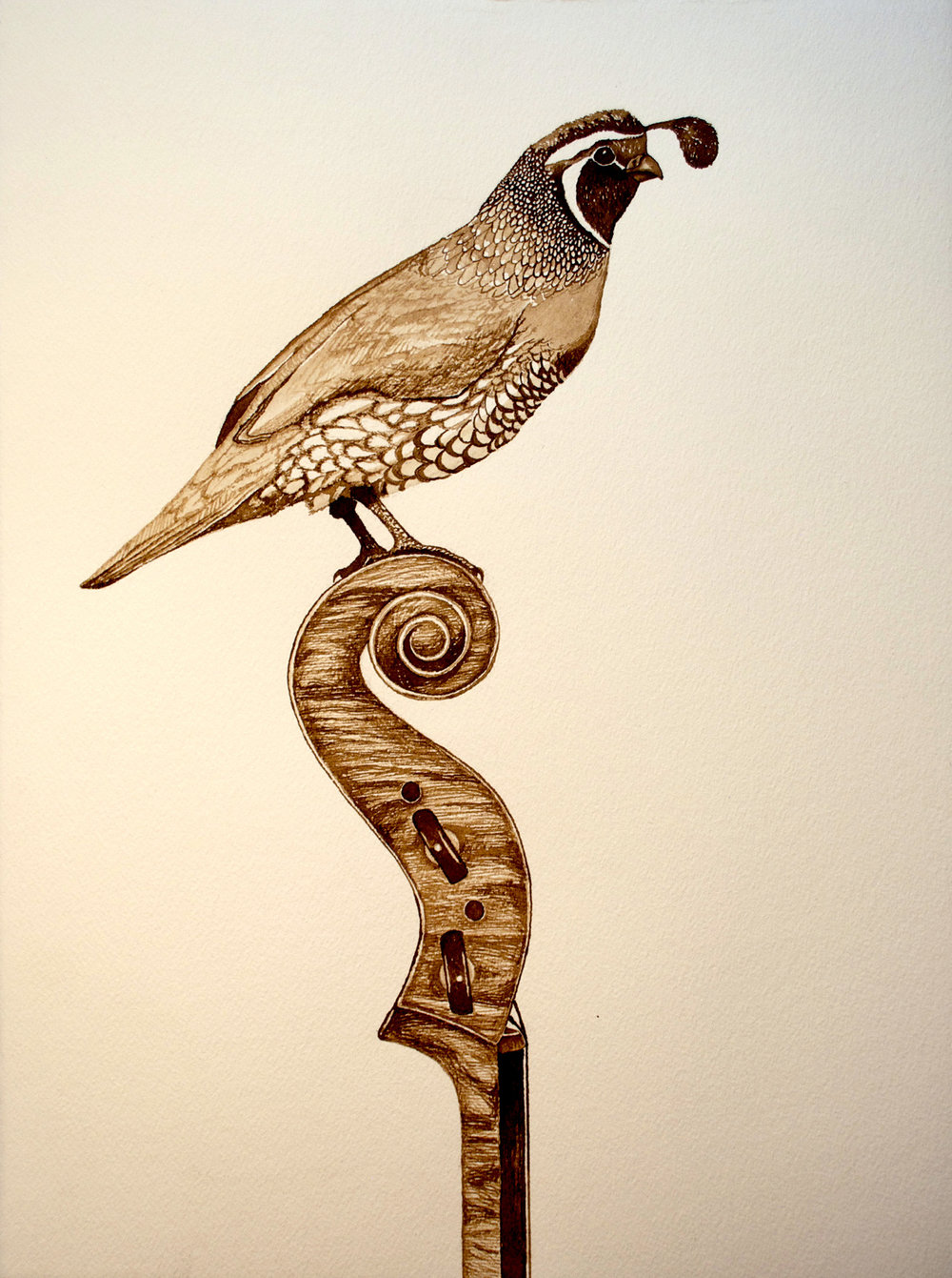 California Quail, Walnut Ink on Paper