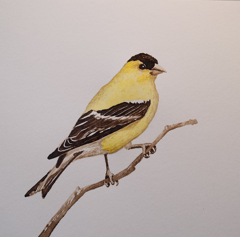 American Goldfinch, Walnut Ink and Watercolor on Paper