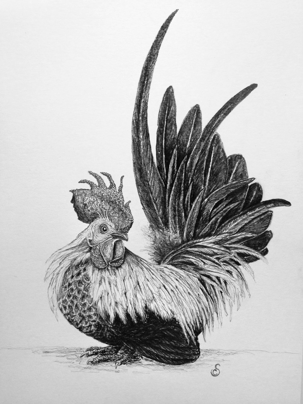 Japanese Bantam, Graphite on Paper