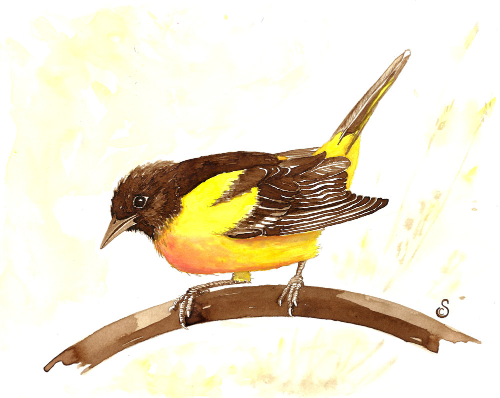 Baltimore Oriole, Walnut Ink and Watercolor on Paper