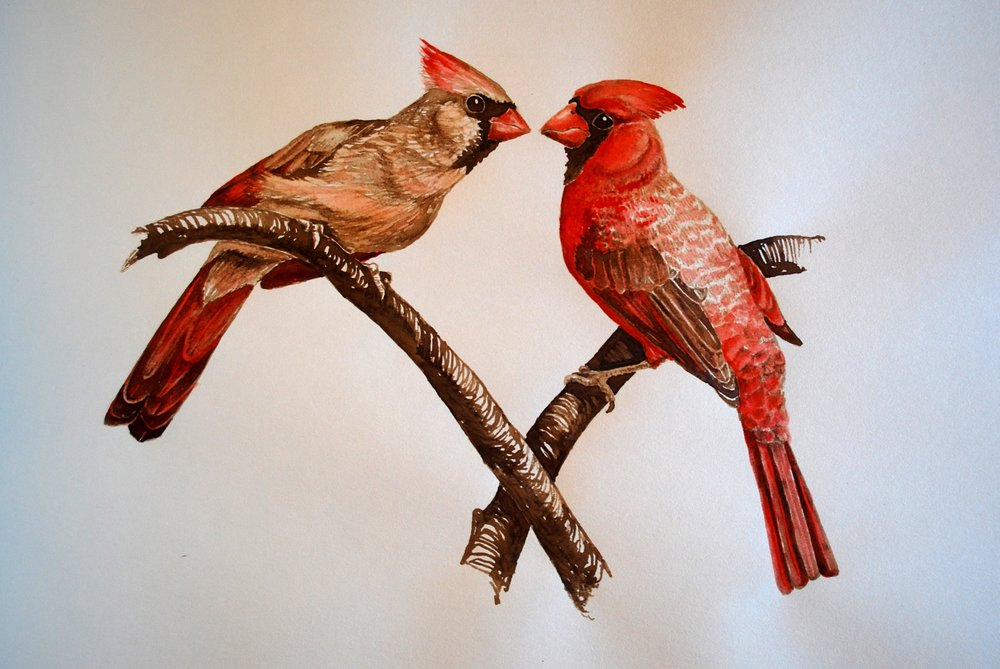 Northern Cardinals, Walnut Ink and Drawing Ink on Paper
