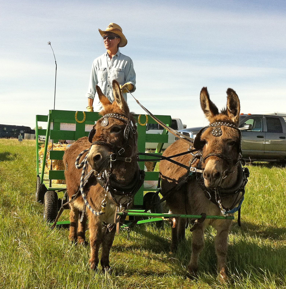 Driving my miniature donkeys, Buck and Coco