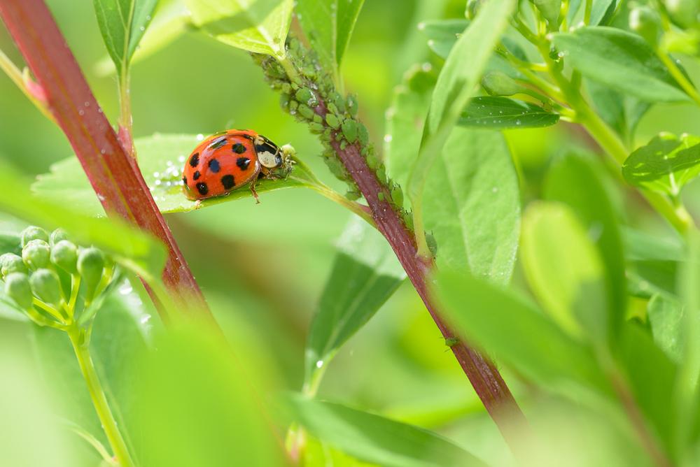 ladybug_macro_jeff_baumgart-1.jpg