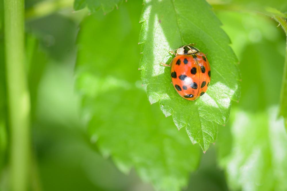 ladybug_macro_jeff_baumgart-4.jpg
