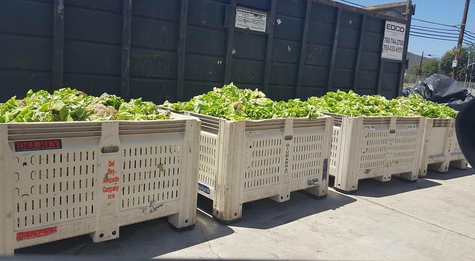 Buttre_lettuce_food_waste.JPG