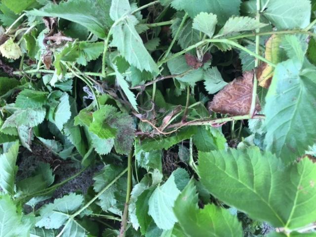 berries_bush.JPG