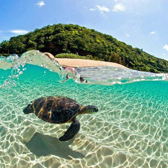 Swim with green sea turtles
