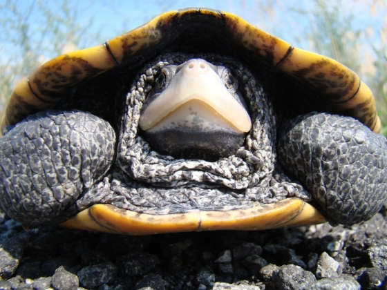 Diamondback terrapins look like this, well, at least when someone is sticking a camera in their face.