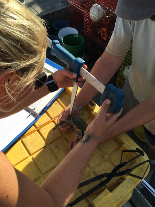 Measuring blue crabs