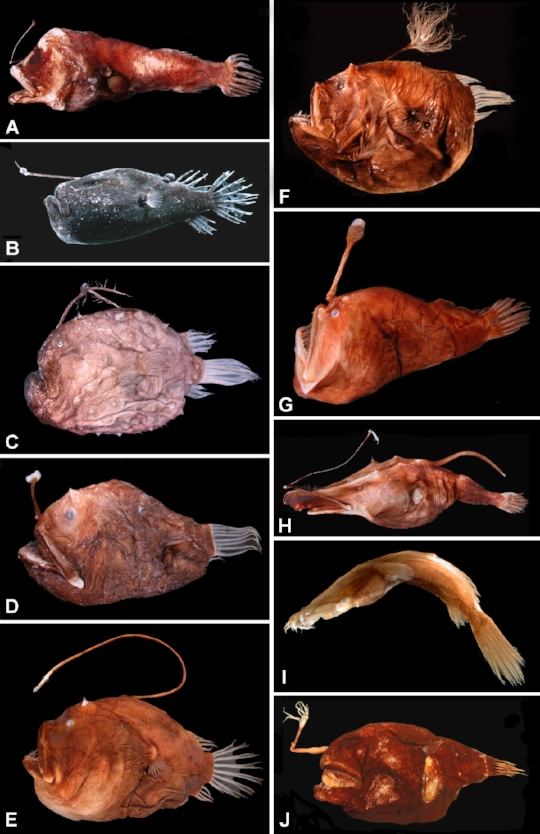 "When you say ""anglerfish,"" you are actually talking about at least 200 different species."