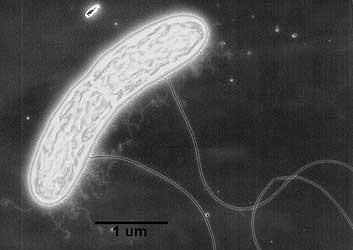 Geobacter  bacteria