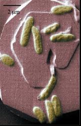 Shewanella  bacteria