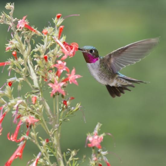 Hummingbird in flower