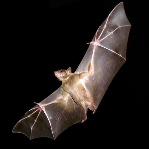 Bat at night