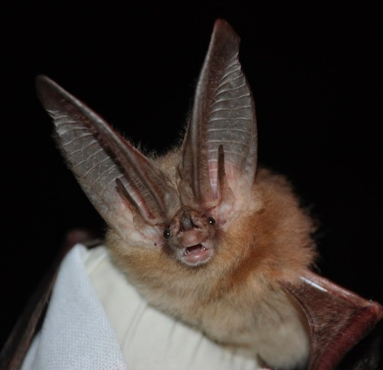 This Townsend's big-eared bat that is apparently on its way to a toga party uses its giant ears to catch sound waves.