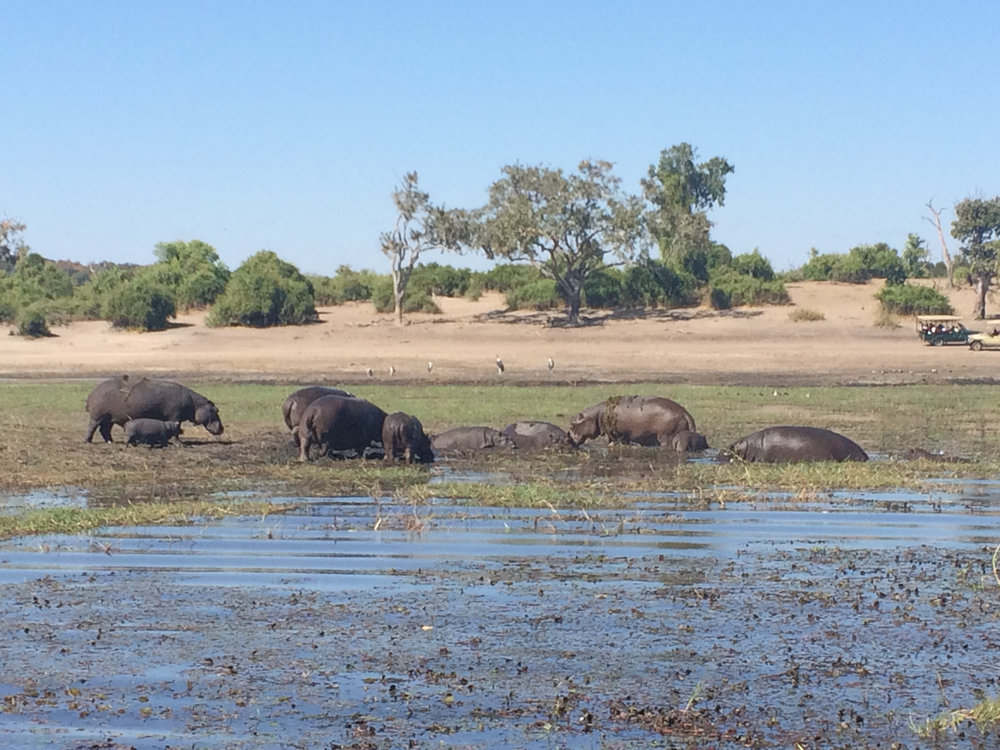 A herd of hippos emerging from the muck