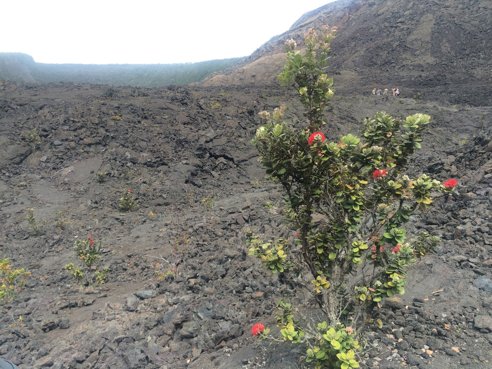 Ohia tree, and in the background, some hikers giving an idea of the crater's size