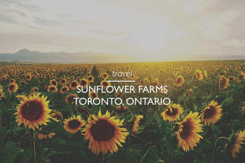 Where to find sunflower fields near Toronto, Ontario